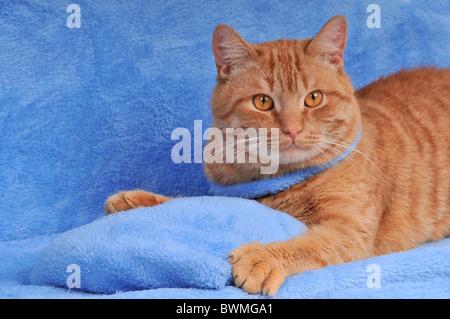 Red Kitten lying on Blue Sofa - Stock Photo