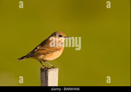 Northern Wheatear (Oenanthe oenanthe) perched on a metal post. - Stock Photo