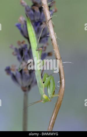 European Praying mantis - European mantis (Mantis religiosa) waiting for prey near flower of Lavender - Stock Photo