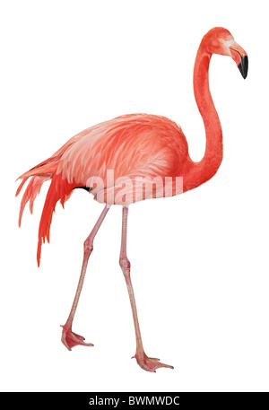 American or Caribbean Flamingo isolated on white background - Stock Photo