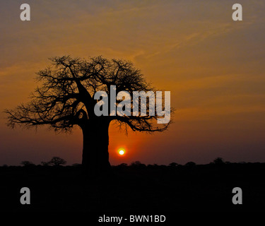 African sunrise under a fabled baobab tree. - Stock Photo