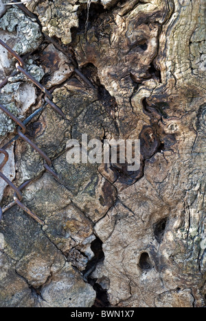 Close up of chain link fence grown into the bark of an ancient tree trunk - Stock Photo