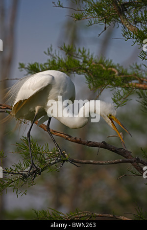 Great Egret (Casmerodius albus) - Louisiana - USA - Distinguished from most other white herons by large size vocalizing - Stock Photo