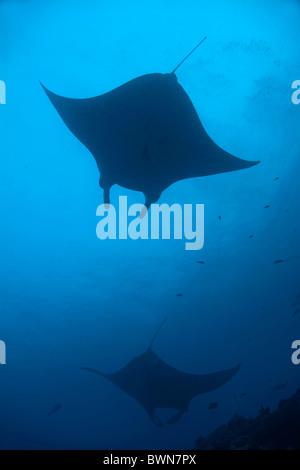 Maldives two giant manta ray manta birostris - Stock Photo