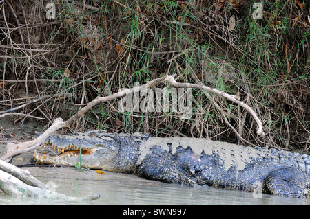 Salt water crocodile  during the mid day sun in East Alligator River  Arnhem Land Plateau, Australia - Stock Photo