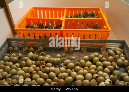Newly hatched pheasant chicks being sorted on hatching day - Stock Photo
