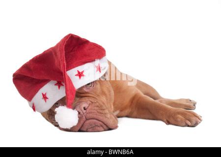 Santa Puppy of Dogue De Bordeaux - Stock Photo