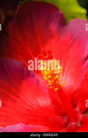 Close-up of hibiscus flower - Stock Photo
