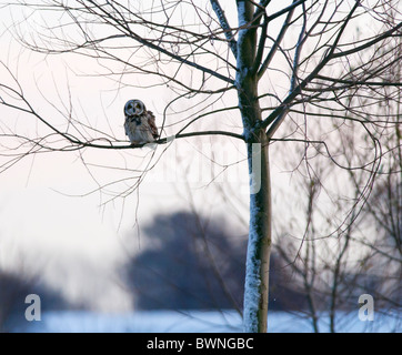 Wild Short Eared Owl perched in tree in Leicestershire - Stock Photo