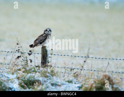 Wild Short Eared Owl perched on wooden fence post in Leicestershire - Stock Photo