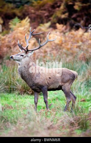 Red Deer; Cervus elaphus; stag; autumn - Stock Photo