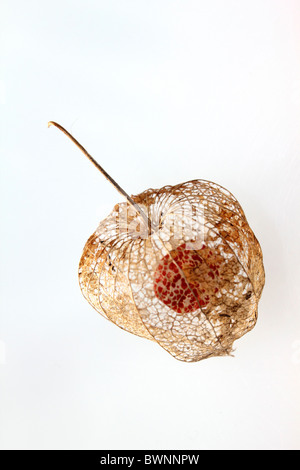 The skeleton seed pods of Physalis alkekengi or Chinese Lantern, studio image. - Stock Photo