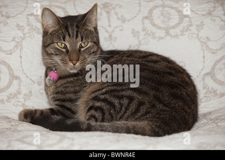 Portrait tabby cat lying on bed UK - Stock Photo