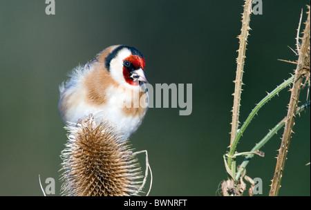 goldfinch (carduelis carduelis) on teasel - Stock Photo