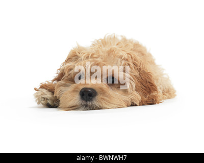 Cockapoo cute cross breed dog of cocker spaniel and a poodle lying down isolated on white background - Stock Photo