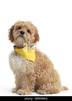 Cockapoo cute cross breed dog of cocker spaniel and a poodle isolated on white background - Stock Photo