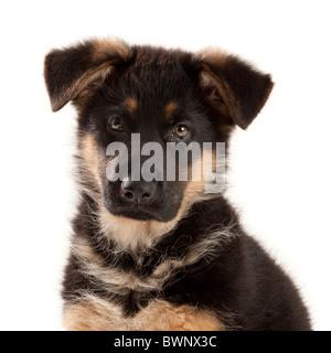 German Shepherd Dog puppy at nine weeks old - Stock Photo