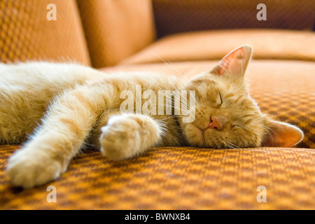 the ginger cat sleeping on couch - Stock Photo