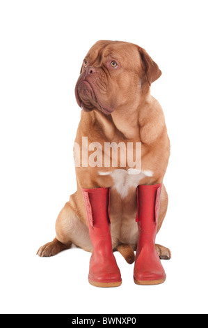 Serious dog with red winter boots - Stock Photo