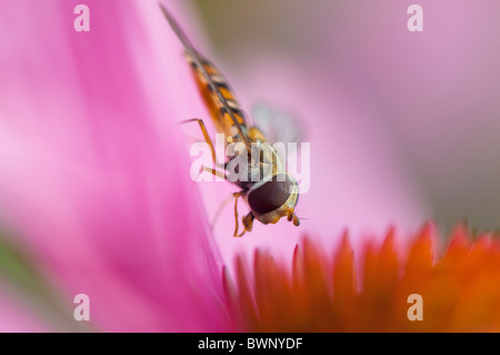Close-up image of a Hoverfly - pisyrphus balteatus  collecting pollen on a summer cone flower - Echinacea purpurea. - Stock Photo