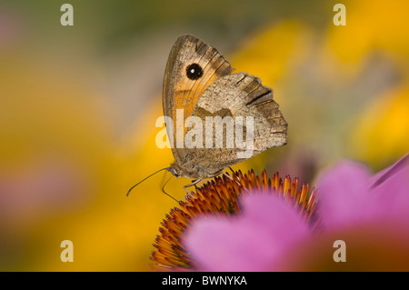 A Meadow Brown butterfly - Maniola jurtina on a pink coneflower - Stock Photo