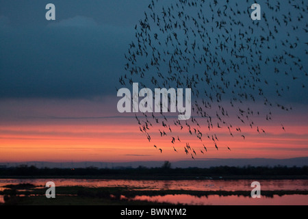 Murmuration of starlings spectacle at sunset over the Great Ouse Washes. - Stock Photo