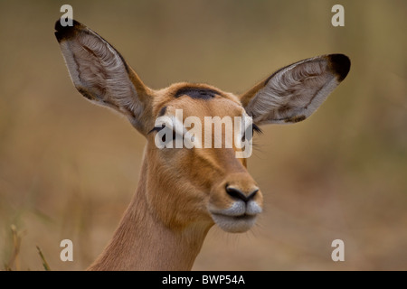 Portrait of an impala (Aepyceros melampus) in the bush. The photo was taken in Kruger National Park, South Africa. - Stock Photo