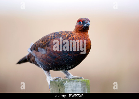 Red Grouse; Lagopus lagopus ssp scoticus; on fence post; Yorkshire