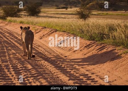 Lioness walking on sand road in the Kalahari desert, Kgalagadi Transfrontier Park, Gemsbok Park, South Africa, Botswana - Stock Photo