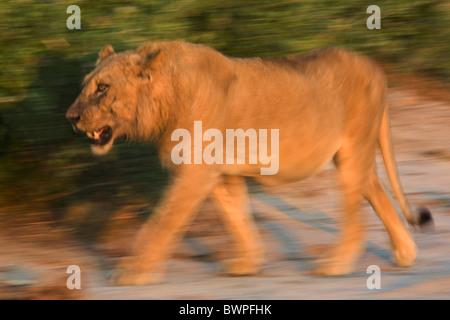 Loewe lion Panthera leo - Stock Photo