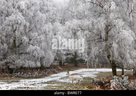 White Hart fallow deer buck hoar frost - Stock Photo