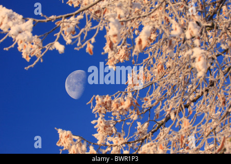 forest winter moonshine moon Switzerland Europe nature trees tree snow blue sky branches hoarfrost cold - Stock Photo
