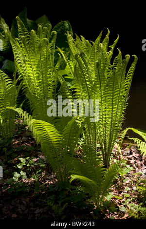 In Spring, a Scaly Male Fern (Dryopteris affinis) in a garden (France). Fougère dryopteris dans un jardin au printemps - Stock Photo