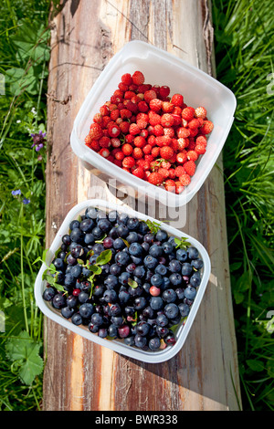 Freshly picked wild strawberries ( fragaria vesca ) and blueberries ( Vaccinium myrtillus ) - Stock Photo