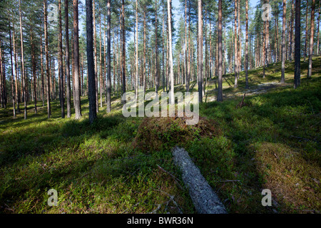 Pine ( pinus sylvestris ) forest growing at dry esker , Finland - Stock Photo