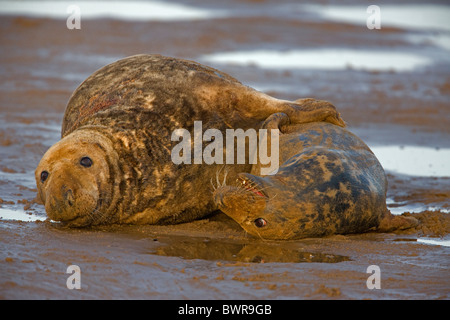Grey Seal (Halichoerus grypus) - UK - Male and female mating on beach  - Stock Photo