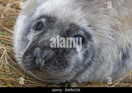 Grey Seal (Halichoerus grypus) - Pup portrait - UK - Stock Photo