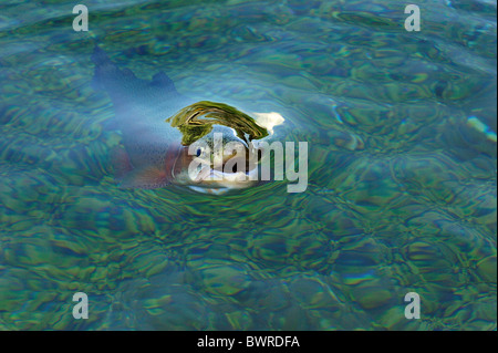 Rainbow Trout, Oncorhynchus mykiss, captive - Stock Photo