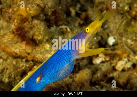 Ribbon eel, Rhinomuraena quaesita, Raja Ampat Indonesia - Stock Photo