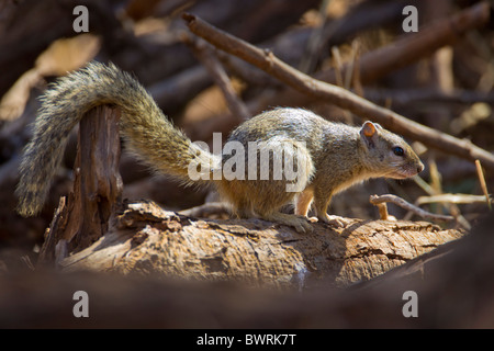 Portrait of an african tree squirrel (Paraxerus cepapi). The photo was taken in Kruger National Park, South Africa. - Stock Photo