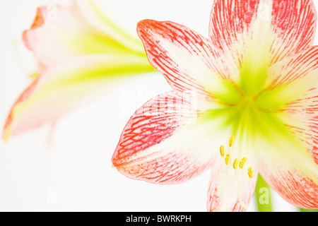 The blooming pink Amaryllis - detail - Stock Photo