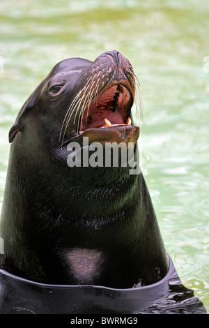 California Sea Lion (Zalophus californianus), adult bull, portrait - Stock Photo