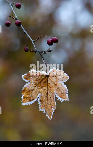 A single maple leaf covered in frost - Stock Photo