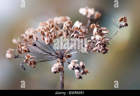 Hogweed seed head Heracleum sphondylium - common Hogweed - Stock Photo