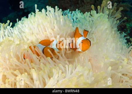 Clownfishes, Amphiprion ocellaris, in a bleached anemone Raja Ampat Indonesia - Stock Photo