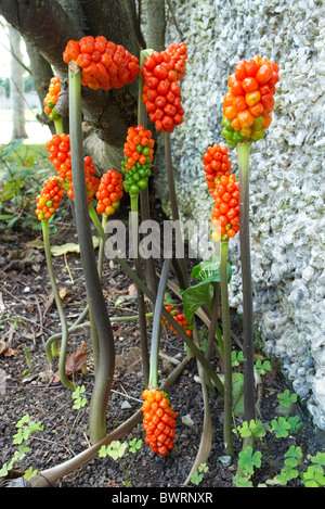 Italian Arum or Lords and Ladies or orange candleflower. Poisonous! - Stock Photo