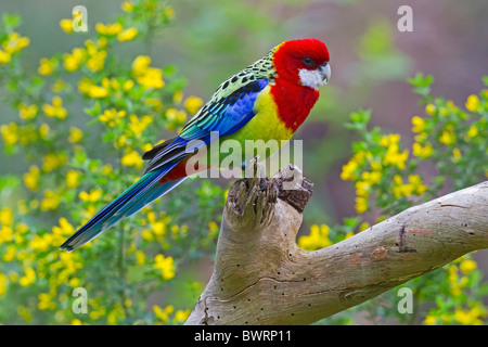 EASTERN ROSELLA PERCHED ON A BRANCH - Stock Photo