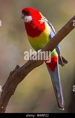 EASTERN ROSELLA PERCHED ON A TREE BRANCH - Stock Photo