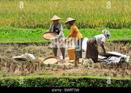Three women working in the fields during rice harvest, Tegallelang, near Ubud, Bali, Indonesia. - Stock Photo