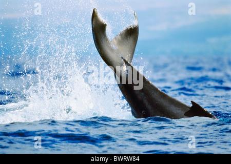 Humpback Whale Newborn Calf Lobtailing or Tail Slapping - Stock Photo